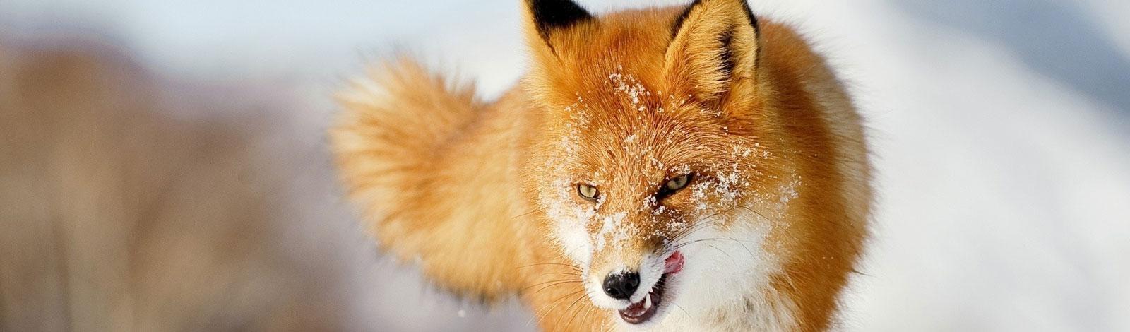 Slider-Fuchs-Winter-4