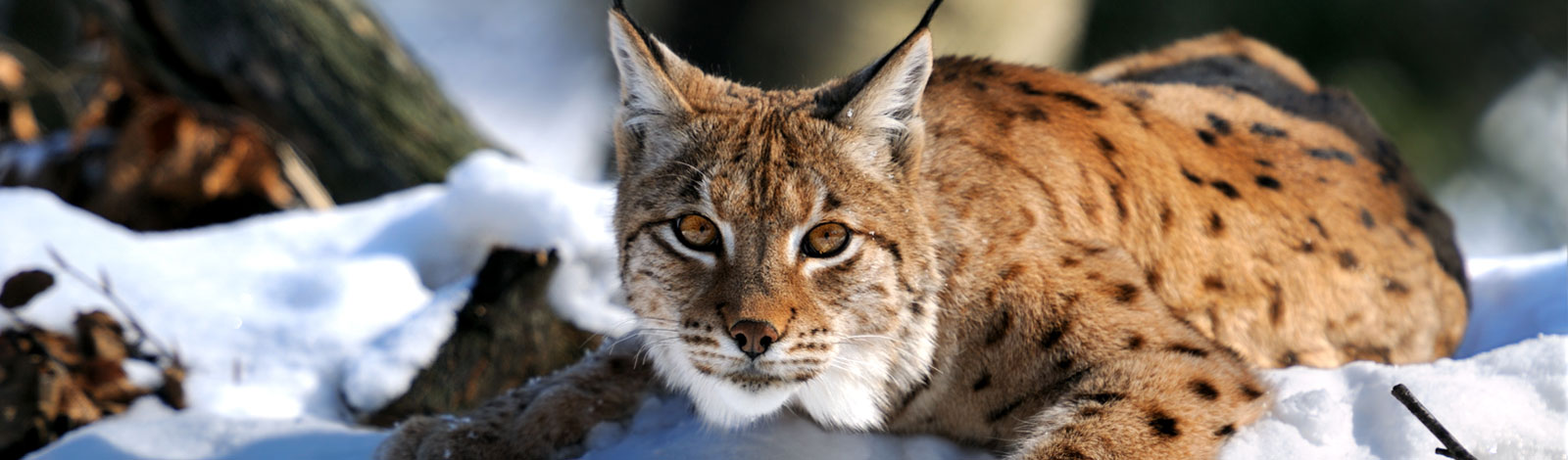 Slider-Luchs-Winter