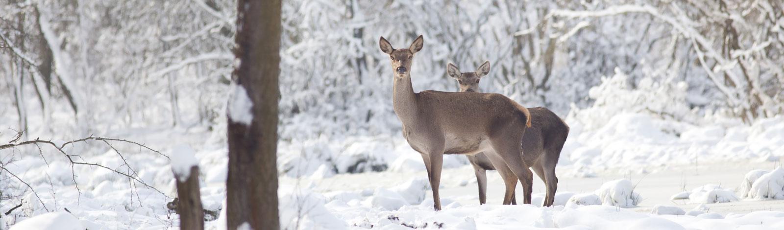 Slider-Rotwild-Winter